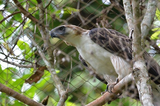 First Endangered Philippine Eagle Hatched in Captivity Dies
